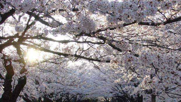"""Passeggiando """"contro ogni razzismo""""… sotto i ciliegi in fiore!"""