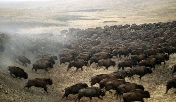 Il bisonte sull'emblema dell'America? L'ipocrisia americana colpisce ancora